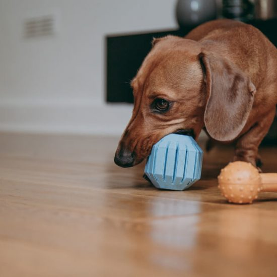best-toys-for-dachshunds