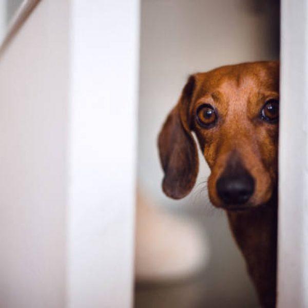 Dog peeking behind the door